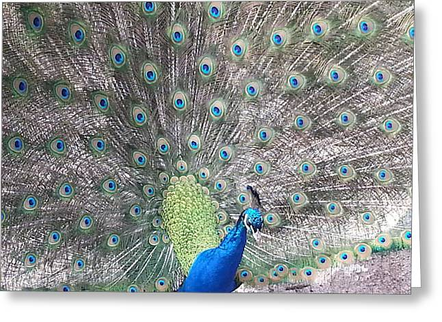 Greeting Card featuring the photograph Peacock Bow by Caryl J Bohn