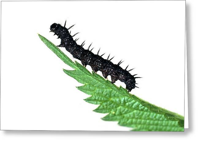 Peacock Butterfly Caterpillar Greeting Card