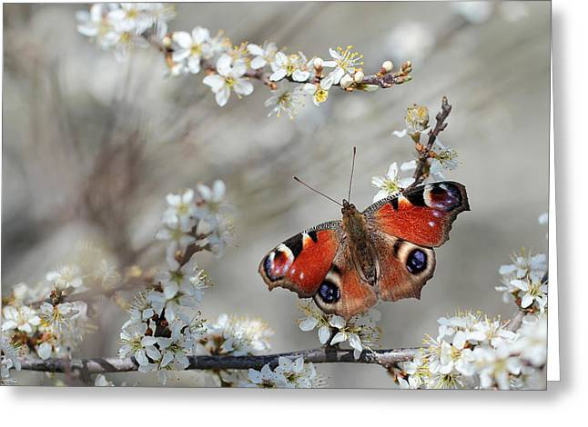 Peacock Butterfly Inachis Io  Greeting Card