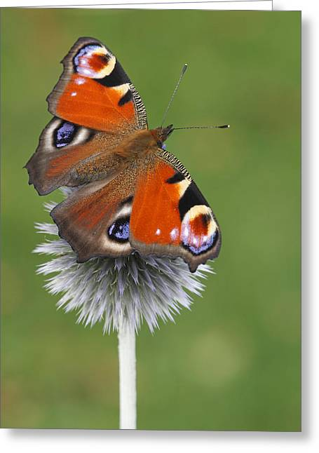 Peacock Butterfly Netherlands Greeting Card by Silvia Reiche