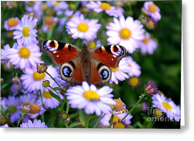Peacock Butterfly Perched On The Daisies Greeting Card