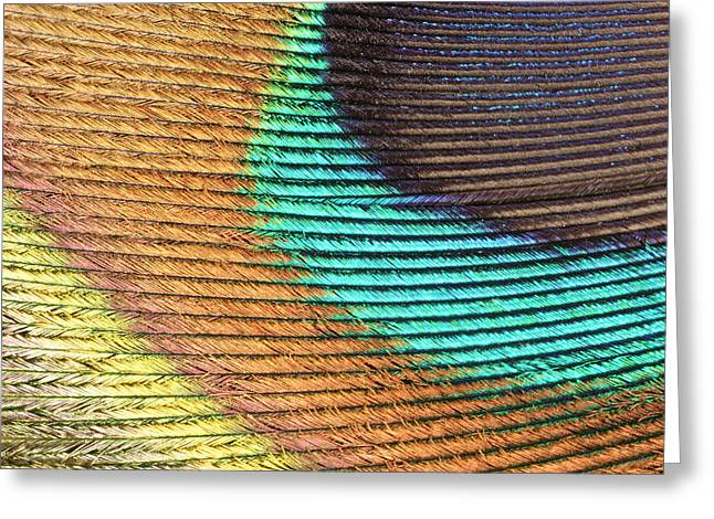Peacock Feather Greeting Card by Ted Kinsman/science Photo Library
