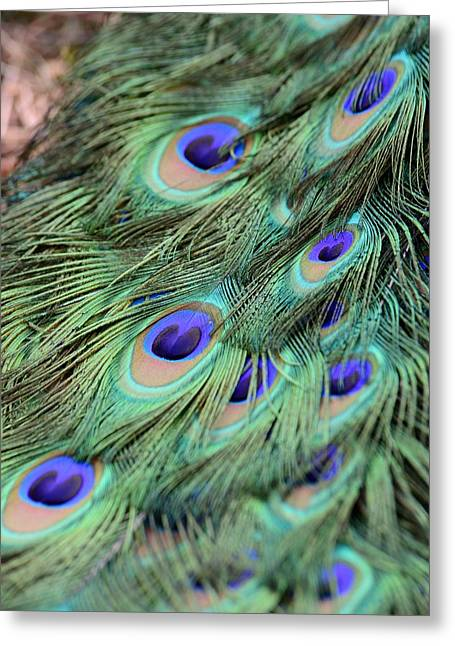 Peacock Feathers Greeting Card by T C Brown