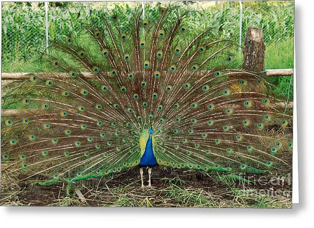Greeting Card featuring the photograph Peacock Full Glory by Eva Kaufman