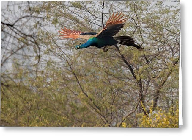 Peacock In Flight Greeting Card