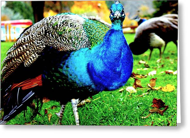 Peacock Greeting Card by Izabela Bienko