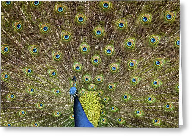 Peacock Greeting Card by Joseph Rossbach