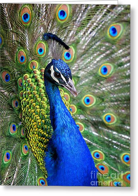 Peacock On Display Greeting Card
