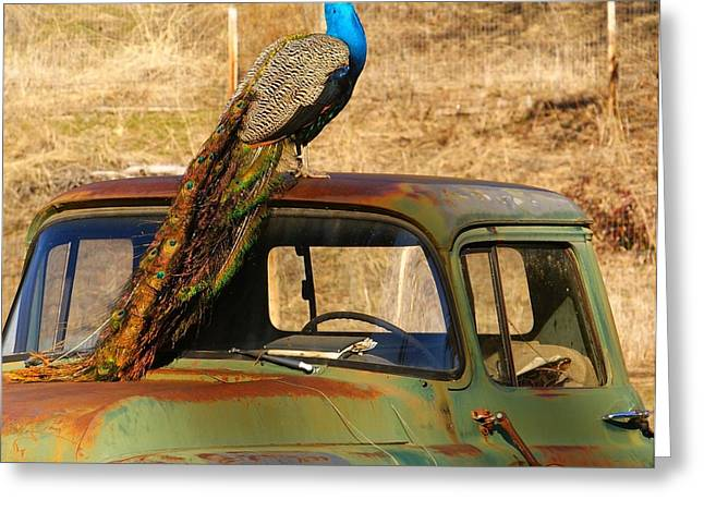 Peacock On Old Gmc Truck 3 Greeting Card