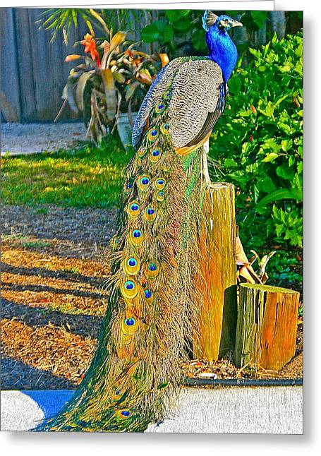 Peacock On The Stump Greeting Card by Joan McArthur
