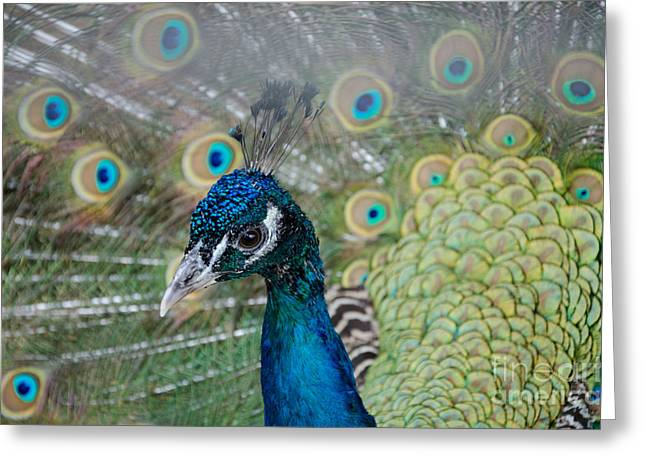 Peacock Portrait Greeting Card