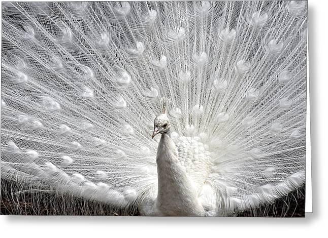Peacock Pride Greeting Card by Joanne Brown