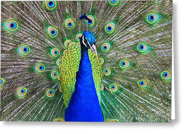 Peacock Greeting Card by Roger Becker