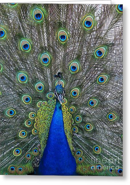 Peacock Greeting Card by Steven Ralser