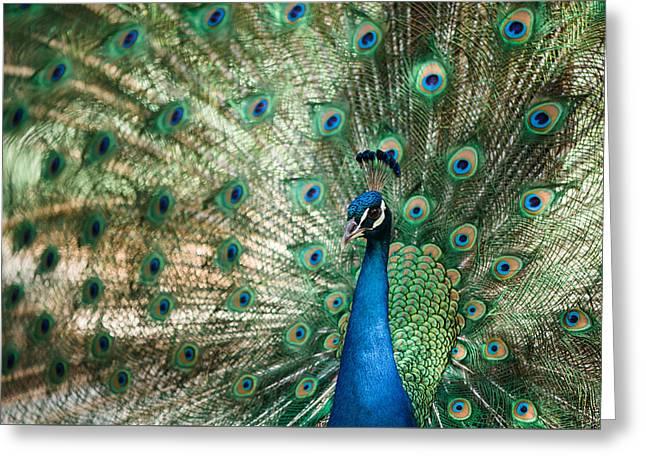 Peacocking Greeting Card