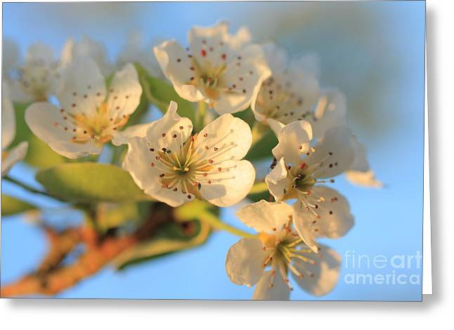 Greeting Card featuring the photograph Pear Blossom 3 by Rebeka Dove