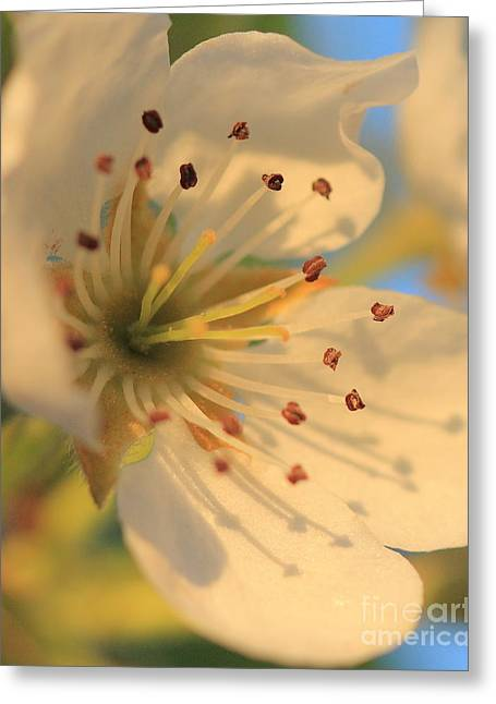 Pear Blossom Greeting Card by Rebeka Dove