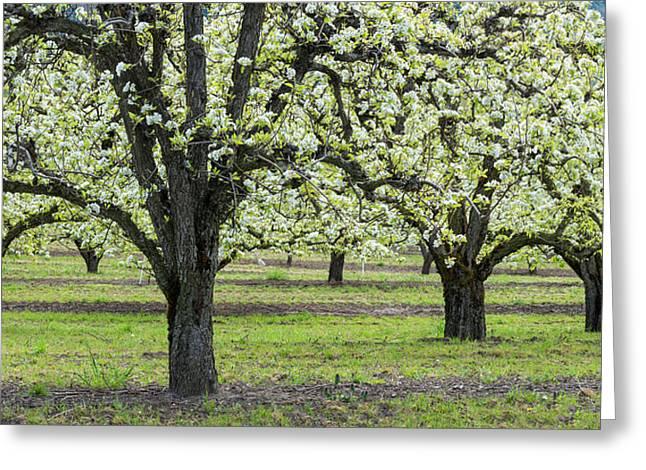 Pear Orchard In Bloom, Mt Hood, Oregon Greeting Card