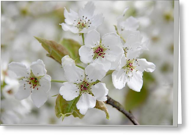 Pear Tree White Flower Blossoms Greeting Card by Jennie Marie Schell