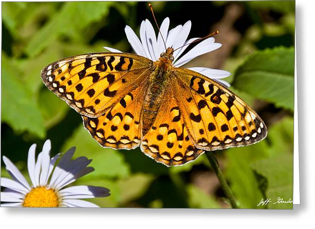 Greeting Card featuring the photograph Pearl Border Fritillary Butterfly On An Aster Bloom by Jeff Goulden