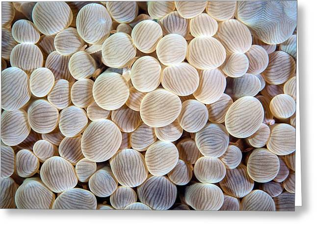 Pearl Bubble Coral Greeting Card by Ethan Daniels