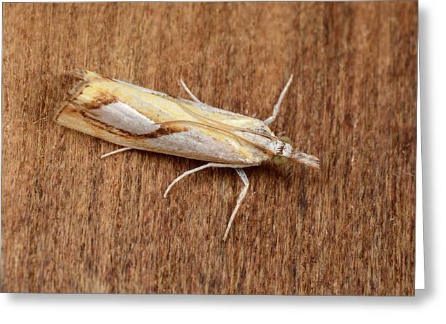 Pearl Grass-veneer Moth Greeting Card
