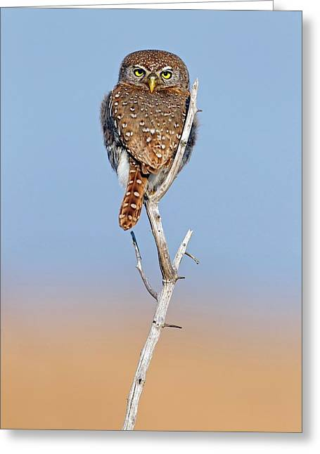 Pearl-spotted Owlet Greeting Card by Bildagentur-online/mcphoto-schaef