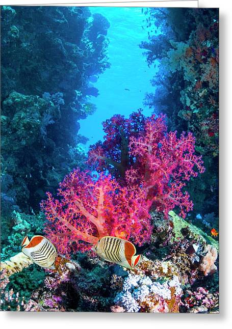 Pearlscale Butterflyfish On A Reef Greeting Card by Georgette Douwma