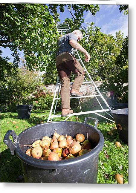 Pears Being Harvested To Make Perry Greeting Card