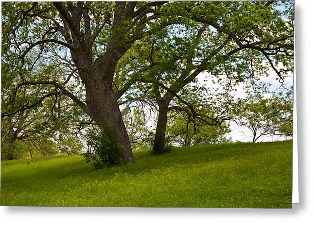 Pecan Trees Greeting Card by Mark Weaver