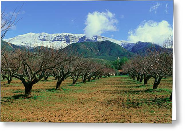 Snow Capped Greeting Cards - Pecan Trees, Ojai, California Greeting Card by Panoramic Images