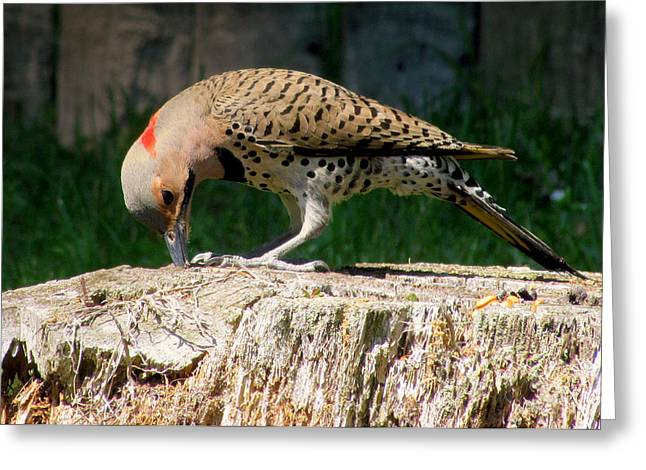Pecking Flicker Greeting Card by Lori Pessin Lafargue