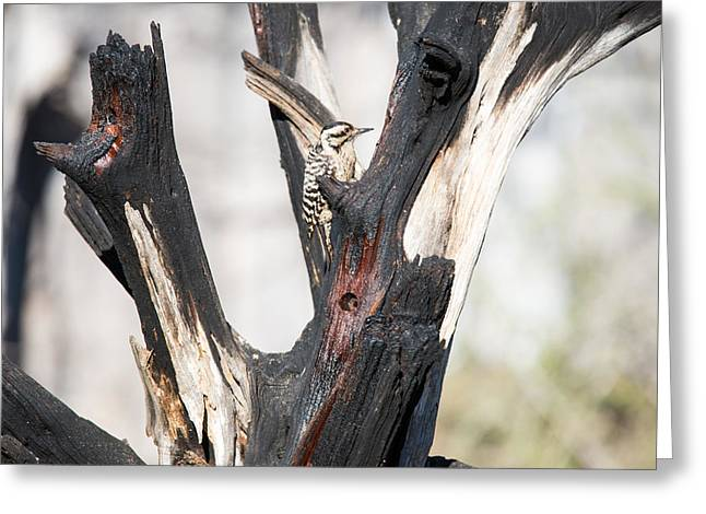 Pedernales Park Ladderback Woodpecker Greeting Card by JG Thompson