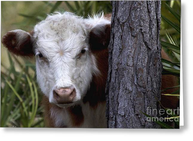 Peek A Moo Greeting Card