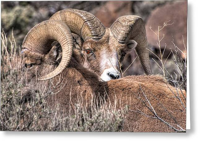 Peekaboo Bighorn  Greeting Card