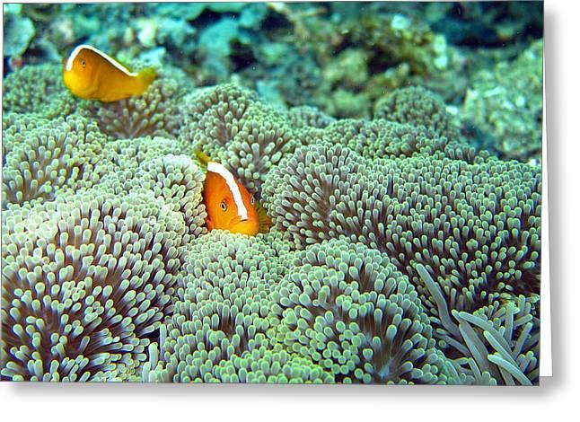 Peekaboo Clownfish Greeting Card by Laura Hiesinger