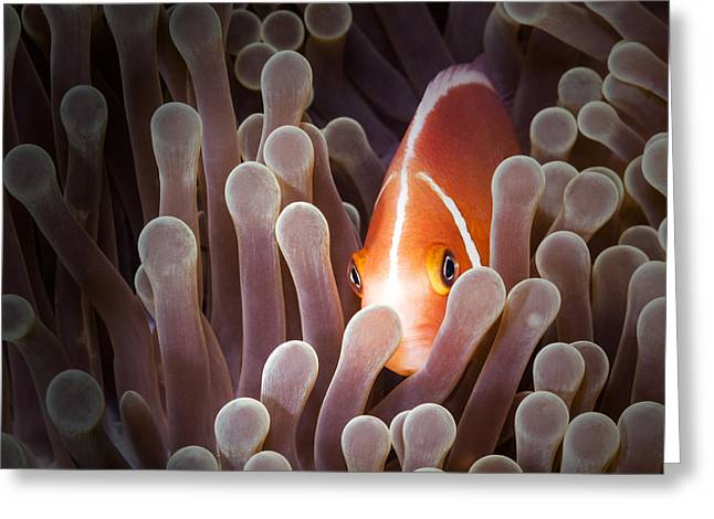 Peeking Anemone Fish Greeting Card