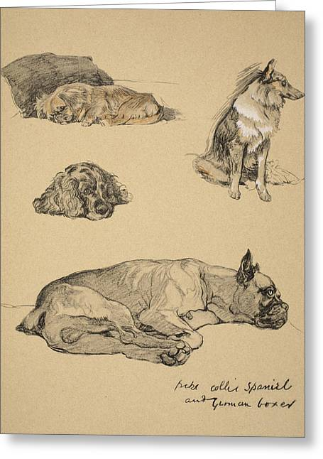 Peke, Collie, Spaniel And German Boxer Greeting Card by Cecil Charles Windsor Aldin