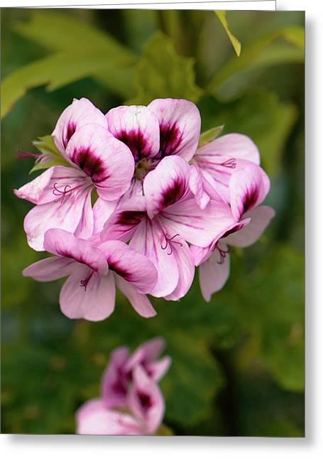 Pelargonium 'fir Trees Muffin' Greeting Card