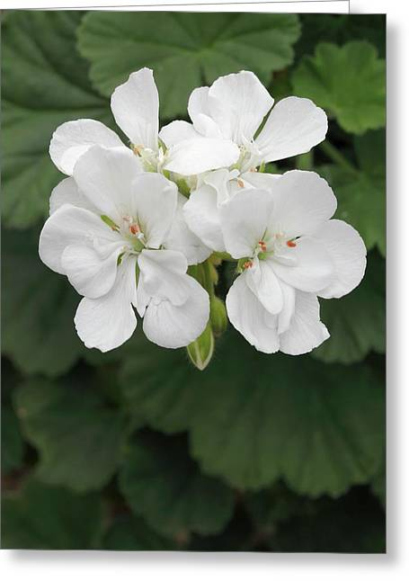 Pelargonium 'glacis' Greeting Card by Geoff Kidd