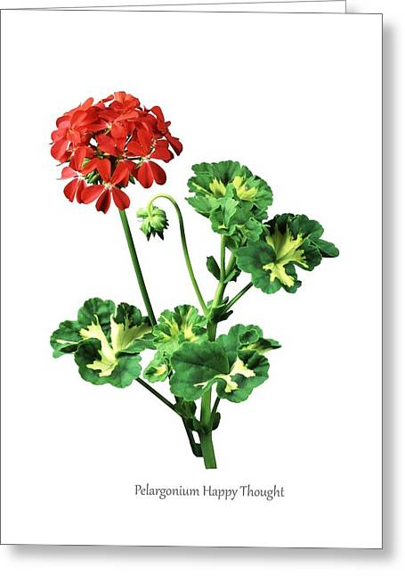 Pelargonium 'happy Thought' Greeting Card by Science Photo Library