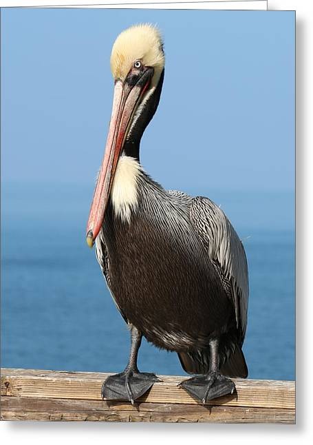 Pelican - 3  Greeting Card