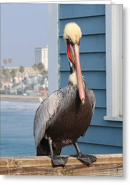 Pelican - 4 Greeting Card