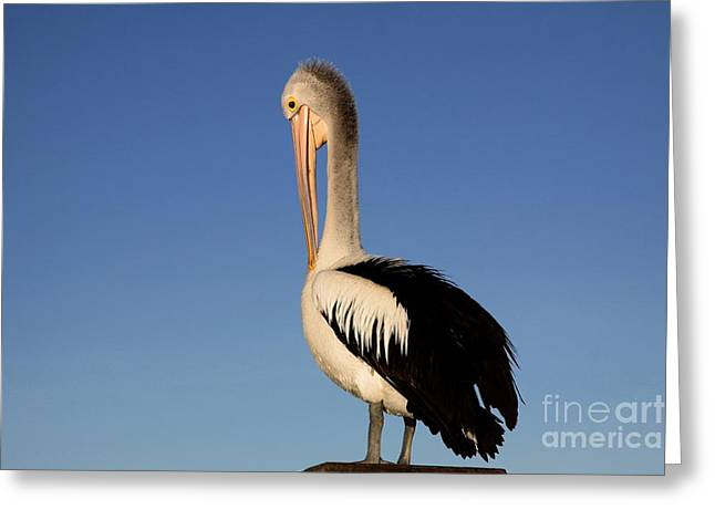 Pelican Alone Greeting Card
