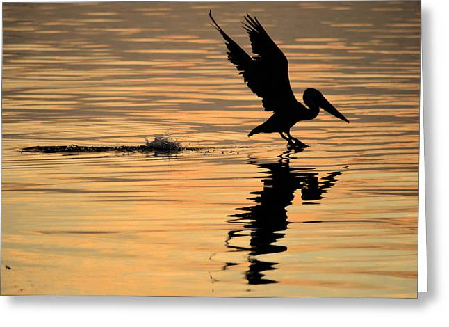 Pelican At Sunrise Greeting Card by Leticia Latocki