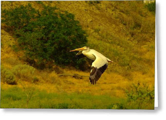 Pelican Buzz By Greeting Card by Jeff Swan
