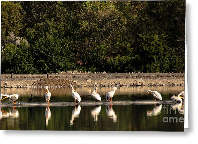 Pelican Clean Up Time Greeting Card by Robert Bales