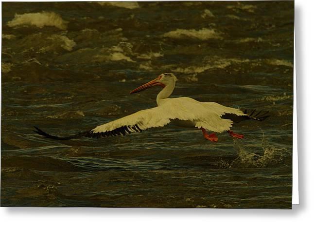 Pelican Flying Low Greeting Card by Jeff Swan