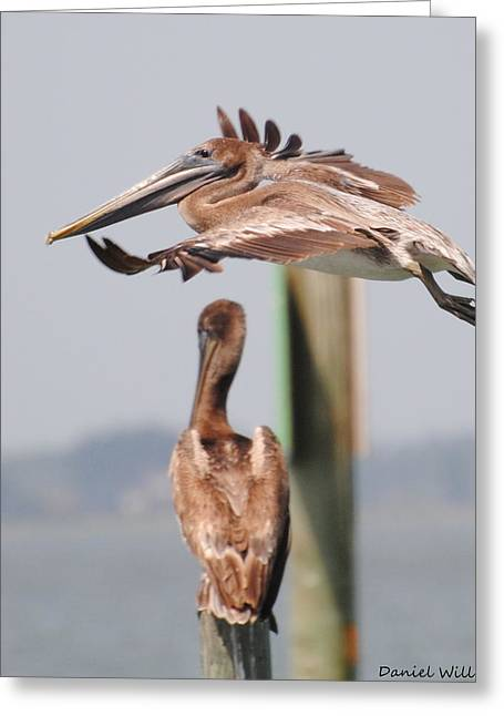 Pelican Flyover Greeting Card