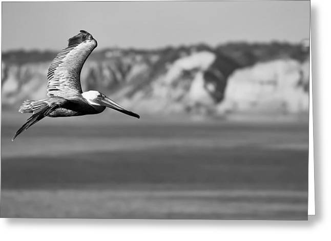 Pelican In Black And White Greeting Card by Sebastian Musial
